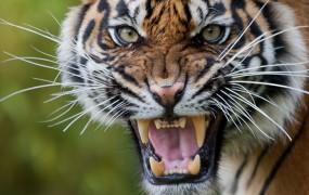 टाइगर स्टेट बने MP में बाघिन और शावक का शव मिलने से हड़कंप, जांच में जुटा वन अमला
