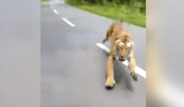 वायरल वीडियो, जब तेज रफ्तार से बाइक सवार का पीछा करने लगा बाघ