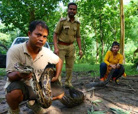 असम में 14.4 फीट लंबे अजगर को वन विभाग की टीम ने बचाया