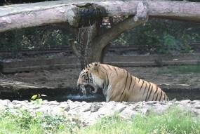 झारखंड के पलामू रिजर्व में 3 बाघ : अधिकारी