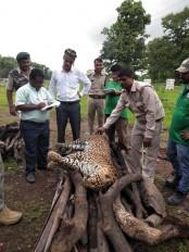 नरसिंहपुर के पास मिला तेंदुए का शव, अज्ञात वाहन की टक्कर से हुई मौत