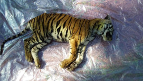 बांधवगढ़ में चार माह के बाघ शावक की मौत, 18 दिन में मर चुके हैं पांच