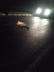 अज्ञात वाहन की चपेट में आने से मादा तेंदुआ की मौत
