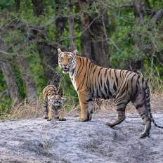 बांधवगढ़ किला में बाघों की गर्जना के बीच मनेगी श्रीकृष्ण जन्माष्टमी , मिलेगा पार्क में नि:शुल्क प्रवेश