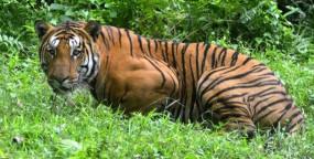 खेत में बाघ ने डेरा डाला, हमले में बुजुर्ग घायल, लोगों की भारी भीड़