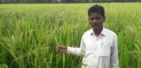 बोगस बीज ने किसान को संकट में डाला, रोपाई की तो उग आया काला लंबा धान