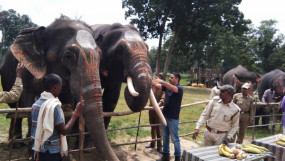 सुबह नीम तेल से मालिश, शाम को केला, गन्ना का जायका, बांधवगढ़ में शुरू हुआ हाथी महोत्सव