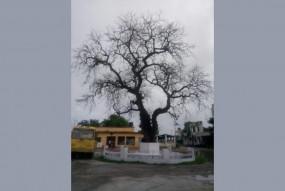 बिहार : चंपारण सत्याग्रह की निशानी नीम का पेड़ उपेक्षित