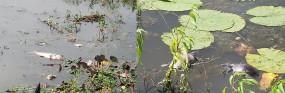 तेज बारिश व गंदगी से मछलियां व कछुओं की मौत, पर्यावरण प्रेमियों ने जताई चिंता