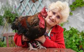 मुर्गे के पक्ष में आया कोर्ट का फैसला, समर्थन में चला 'सेव मौरिस' अभियान