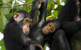 ED ने मनी लॉन्ड्रिंग के मामले में जब्त किए चिम्पांजी और अमेरिकी बंदर, लाखों में है कीमत
