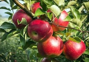 मोदी का मिशन कश्मीर, किसानों से 12 लाख मीट्रिक टन सेब खरीदेगी सरकार