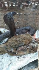 नौ चूजे और एक मुर्गी निगल सुस्ता रहा था कोबरा, सर्प मित्रों ने पकड़ा तो एक - एक उगलने लगा