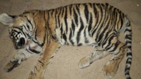 बांधवगढ़ में मिले बाघ शावक के अवशेष -खितौली रेंज की घटना , गुपचुप तरीके से कर दिया अंतिम संस्कार