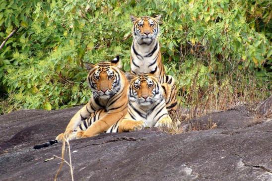सतपुड़ा, नौरादेही में कुनबा बढ़ाएंगे बांधवगढ़ के बाघ -दो मेल, एक फीमले की होगी शिफ्टिंग