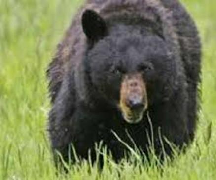 जंगली भालू के हमले से 30 वर्षीय महिला घायल