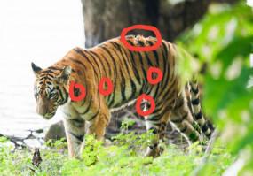 ताड़ोबा में नाले के पास मृत मिली बाघिन मीरा, जंगली भैंसे से हुई थी घायल