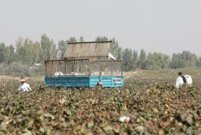 अंतर्राष्ट्रीय बाजार में कपास के दाम में गिरावट, किसानों को सरकारी खरीद का आसरा