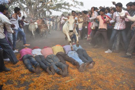 जान जोखिम में डालकर मनाया गाई-गोहरी उत्सव, लोगों ने शरीर के ऊपर से दौड़ाए पशु