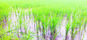 हर रोज हो रही बारिश से सड़ रही धान, बीमारियों के प्रकोप से चिंतित हो रहे किसान
