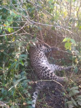 फंदा लगा कर तेंदूआ का शिकार, मौके पर पहुंचे वन विभाग के अधिकारी