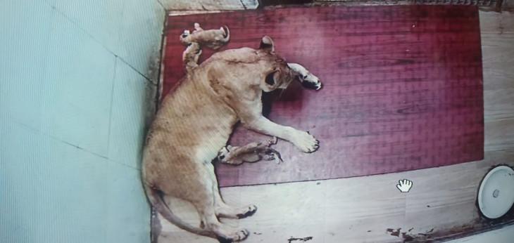 व्हाइट टाइगर सफारी में शेरनी ने जन्मे 3 शावक, एक की मौत