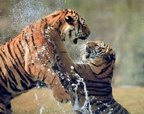 प्रेमरोग: बाघिन के इश्क में आपस में भिड़े दो बाघ, वीडियो वायरल