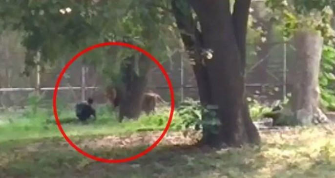 चिड़ियाघर में शेर के बाड़े में कूदा युवक, वीडियो में देखिए फिर क्या हुआ..