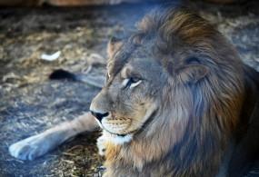 पाकिस्तान : धर्मस्थल प्रंबधक ने मेहनताना मांगने पर इलेक्ट्रीशियन पर शेर छोड़ा