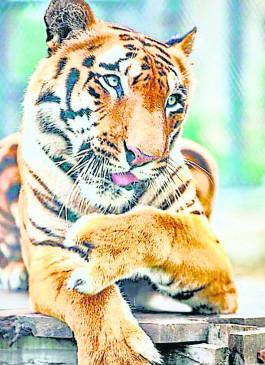टाइगर साहेबराव की सर्जरी, शीघ्र लगेगा कृत्रिम पंजा, शिकारियों के जाल में फंसकर हो गया था घायल