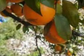 बारिश का असर : छोटे दुकानदार और संतरा उत्पादक हुए प्रभावित