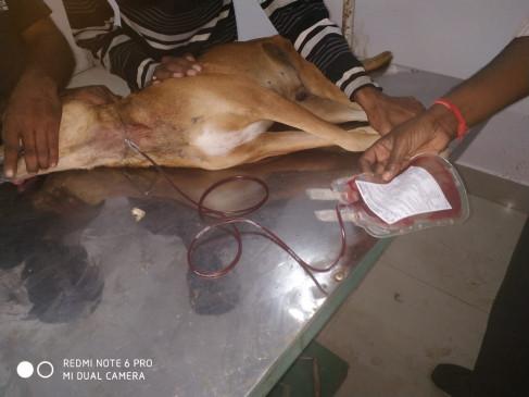 आवारा कुत्ते ने रक्त देकर बचायी लेब्राडोर कुत्ते की जान,  सतना की पॉली क्लीनिक में  पहली बार  हुआ प्रयोग