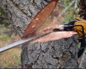विकास के लिए काट रहे पेड़, आर्थिक तंगी के चलते नहीं हो रही गणना