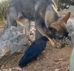 Video: जय-वीरू से भी ज्यादा गहरी कुत्ते और कौए की दोस्ती