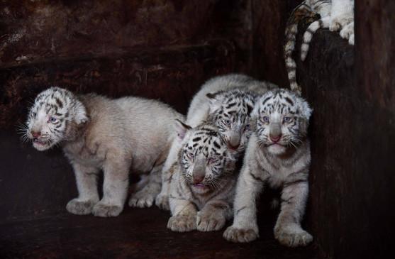 ओडिशा चिड़ियाघर में सफेद नर बाघ सुभ्रांशु की मौत