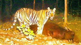 बाघ का खौफ, पांच गांवों में अलर्ट, मुखौटा पहनने व ग्रुप में निकलने की सलाह