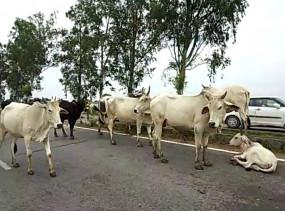 उत्तर प्रदेश: अब अयोध्या की गायें भी पहनेंगी कोट !