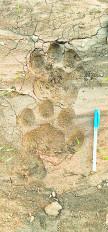 बाघ के पगमार्क शहर से सटे हिंगना के सुकड़ी गांव मिले, ग्रामीण दहशत में