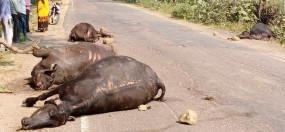 तेज रफ्तार ट्रक ने बेजुबान भैंसों को कुचला, चार की मौत
