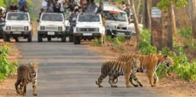 लुभाने लगी जंगल सफारी ,पेंच, ताडोबा, बोर में हर दिन बढ़ रही पर्यटकों की संख्या