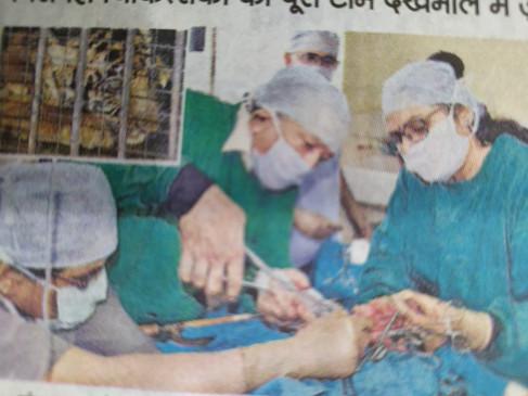 जबलपुर. घायल हुई मादा टाइगर शावक का 3 घंटे चला ऑपरेशन, जान बचाने पैर काटा
