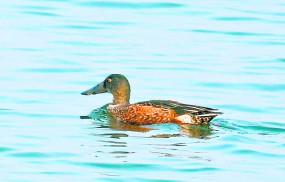 संतरानगरी में प्रवासी पंछियों की दस्तक , तालाबों में गूंज रही चहचहाहट