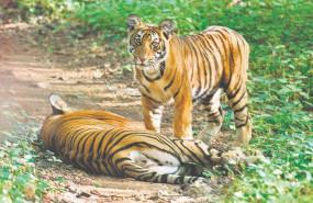 राज्य में प्रतिवर्ष बढ़ रहा बाघों की मौत का आंकड़ा , 5 वर्ष में 89 बाघों की मौत