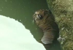 नदी के पत्थरों में घंटों फंसकर घायल हुए बाघ की मौत