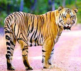 खेत में काम करने गई महिला मजदूर का बाघ ने किया शिकार, अधखाया शव मिला