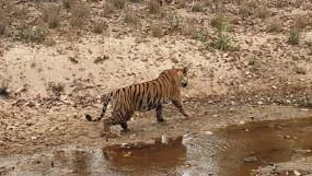 बाघ ने शावक को उतारा मौत के घाट - कान्हा के सरही परिक्षेत्र की घटना