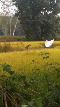 खेत की मेढ़ पर घंटों बैठा रहा  बाघ, ग्रामीणों में दहशत