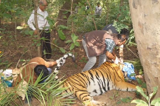 संजय टाईगर रिजर्व में भिड़े बाघ, टी-16 घायल
