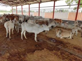 उप्र : अतर्रा की सरकारी गौशाला में 4 दिनों में 13 गायों की मौत!