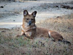 कान्हा नेशनल पार्क में 5 जंगली कुत्तों की मौत, जांच के आदेश